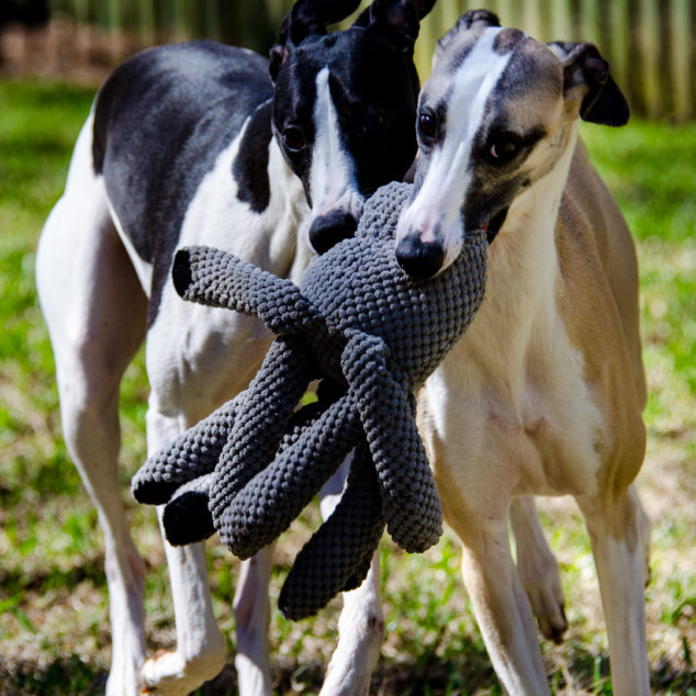 Two whippets playing with an octopus dog toy