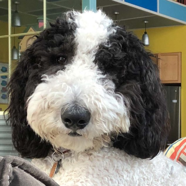 Ollie, a black and white sheepadoodle dog