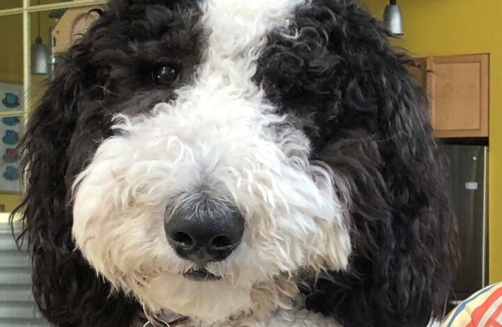 Black and white sheepadoodle dog face