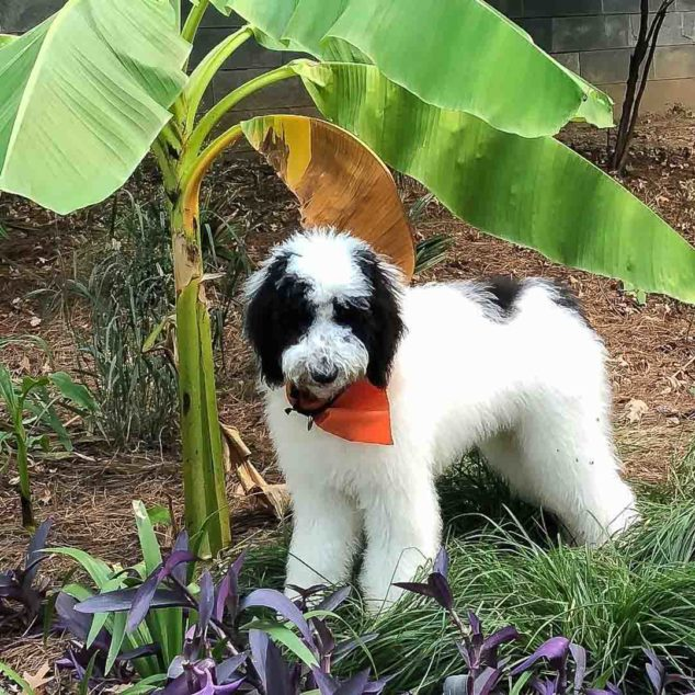 Black and white sheepadoodle dog standing next to a palm.