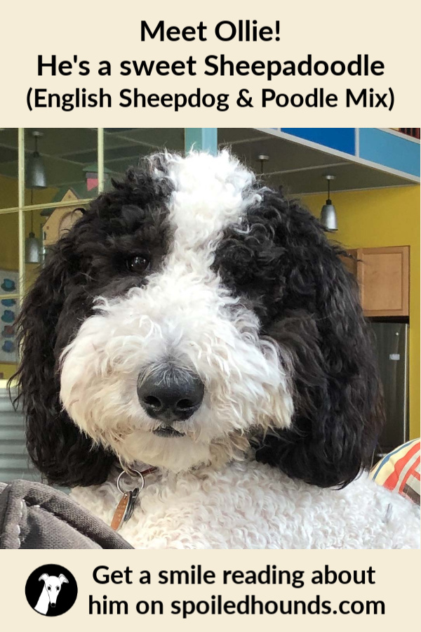 Sheepadoodle dog with text