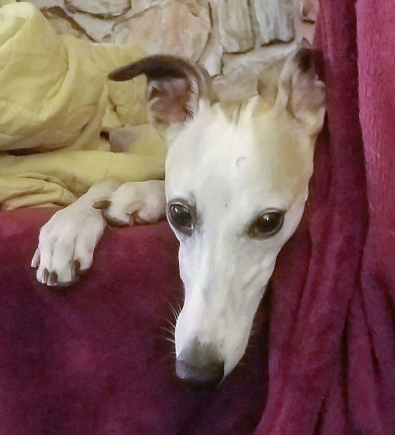 Whippet dog face