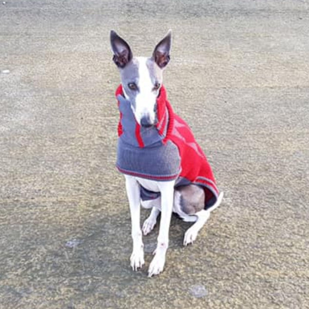 Whippet wearing a grey and red dog coat