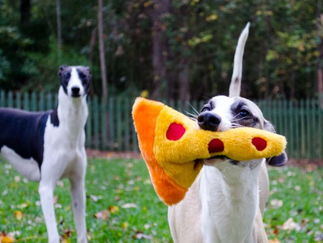 Whippet with pizza slice dog toy