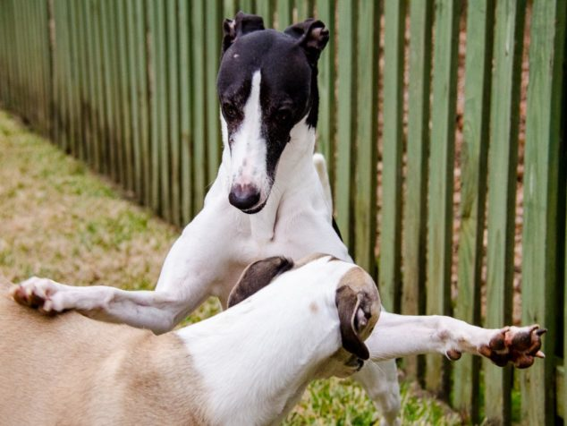 Two whippets playing