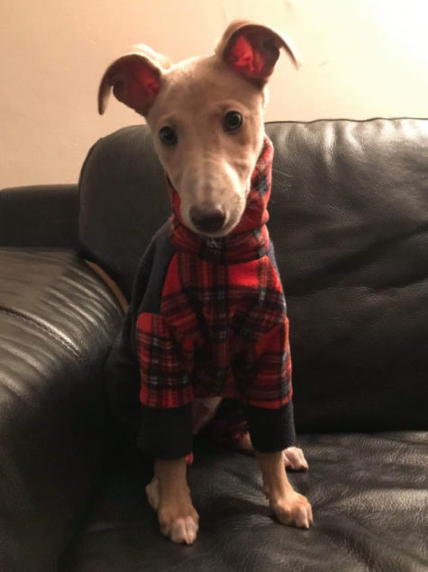Whippet puppy wearing a plaid dog coat