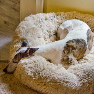 Whippet lying on fluffy dog bed