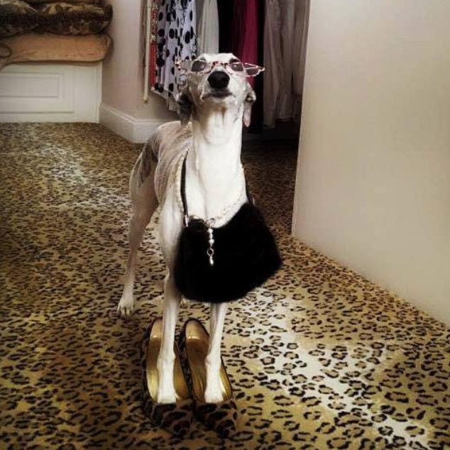 Whippet wearing glasses, purse, and high heel shoes