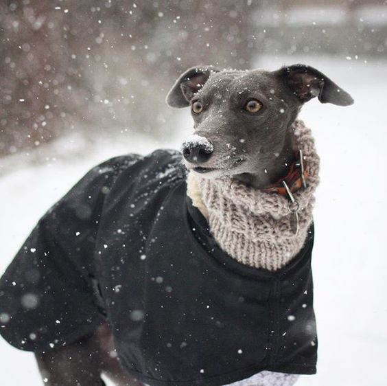 Whippet wearing a dog snood and coat