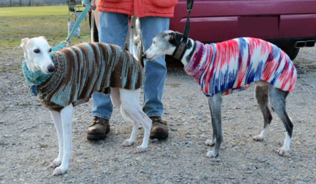Whippets wearing dog sweaters
