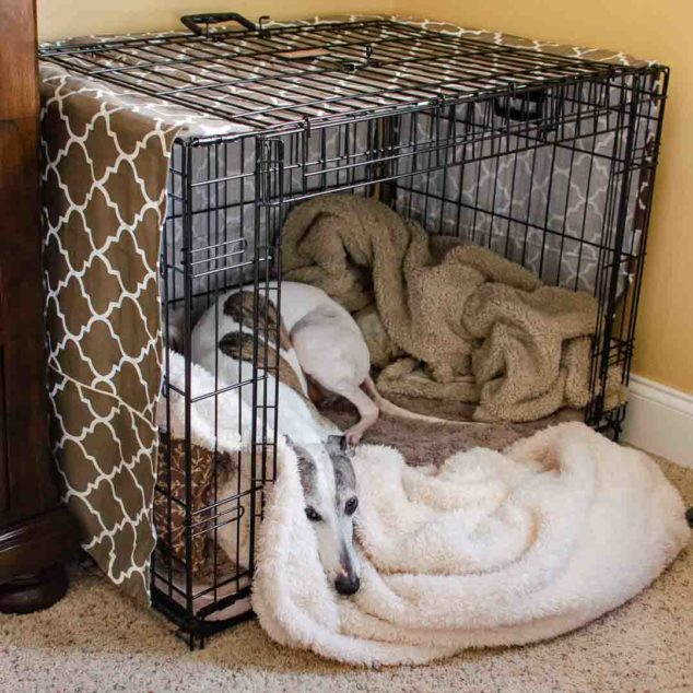 Whippet in a dog crate with blankets