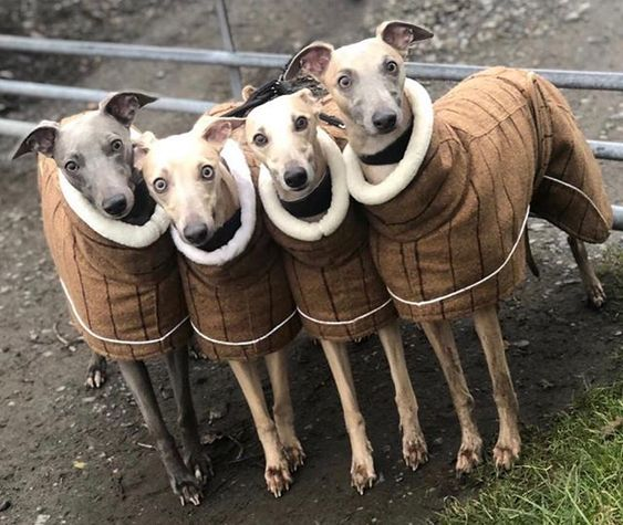 Four whippets wearing matching brown dog coats