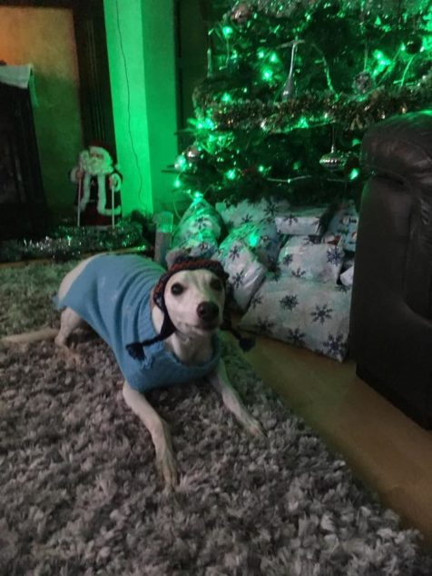 Whippet next to a Christmas tree