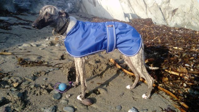 Whippet wearing a blue dog coat