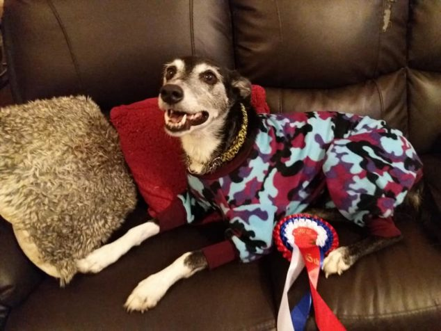 Whippet wearing camouflage colored dog pajamas