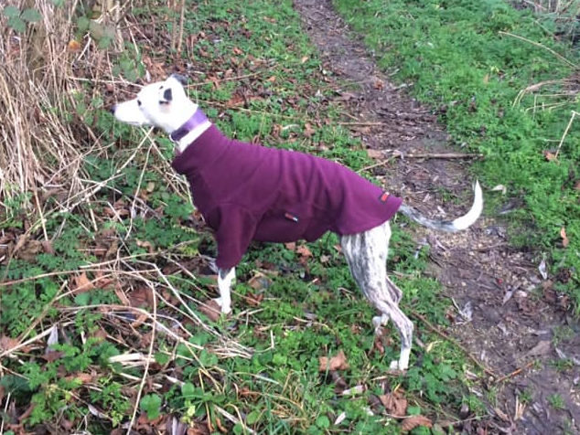 Whippet wearing a purple dog coat