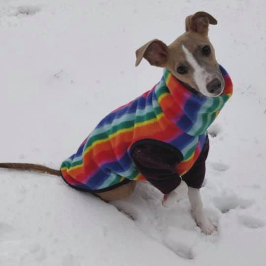 Whippet wearing a rainbow striped dog coat sitting on snow