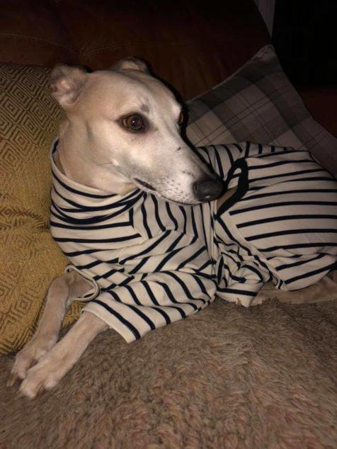 Whippet wearing striped dog pajamas