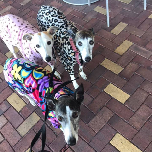 Three whippets wearing colorful dog coats