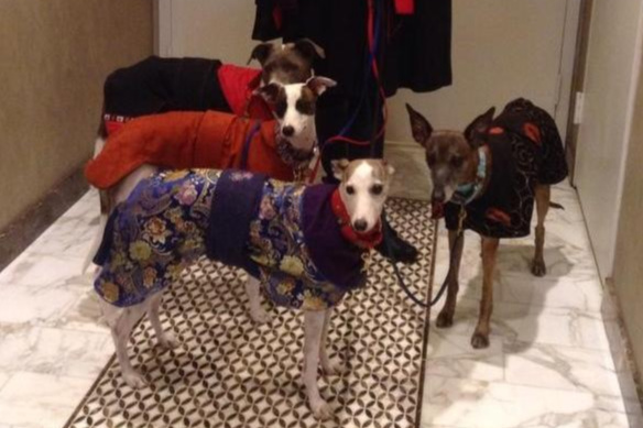 Four whippets wearing dog coats