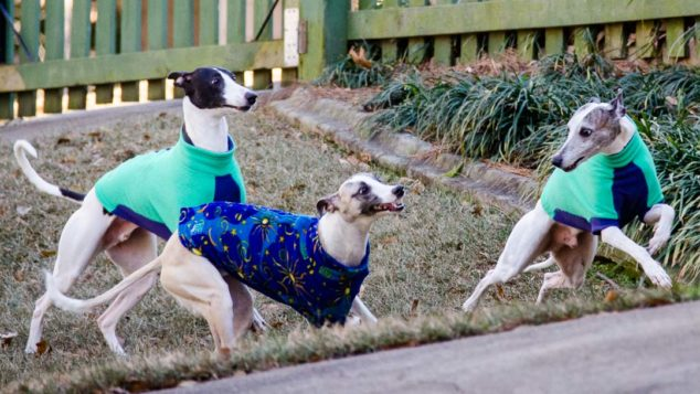 Three whippets wearing dog fleece coats and playing