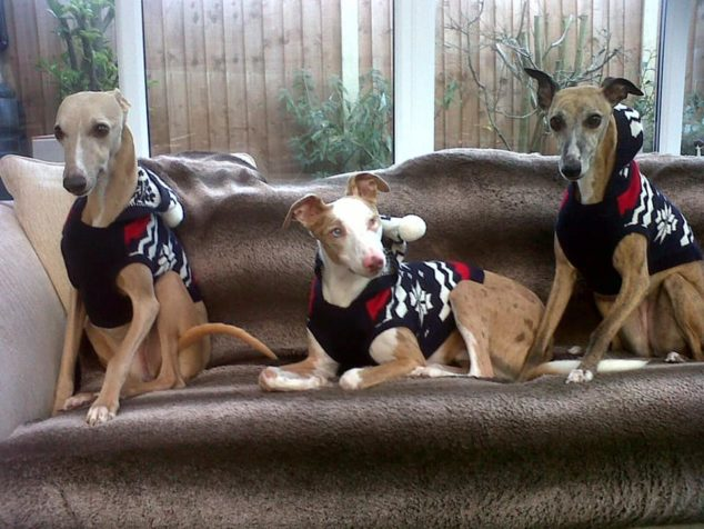 Three whippets wearing holiday dog sweaters