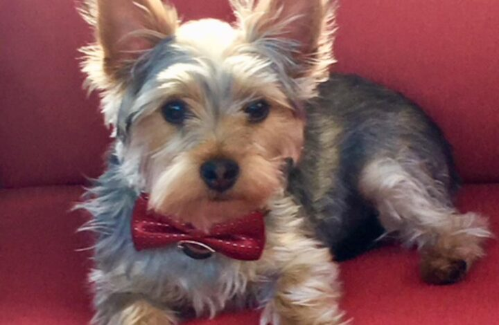 Ziggy Yorkshire Terrier Dog wearing a bow tie collar