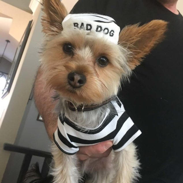 Ziggy Yorkshire Terrier wearing Bad Dog costume.