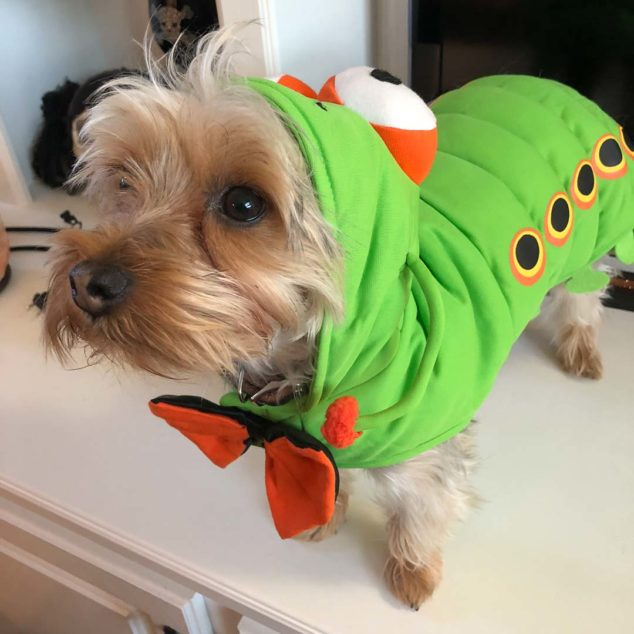 Ziggy Yorkshire Terrier wearing caterpillar costume