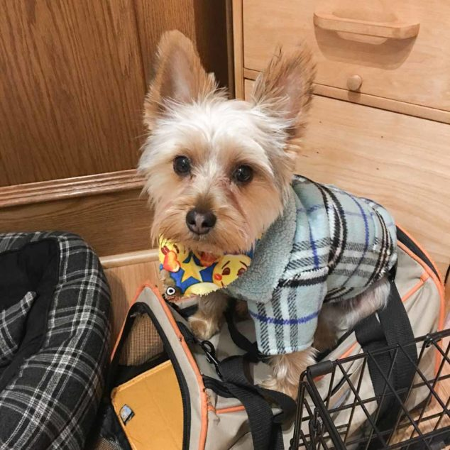 Ziggy Yorkshire Terrier wearing a blue plaid dog coat.