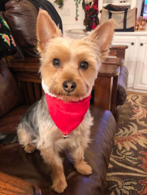 Ziggy Yorkshire Terrier wearing a red bandana