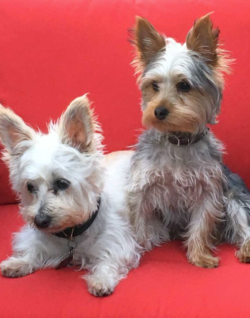 Ziggy Yorkshire Terrier sitting next to another dog.