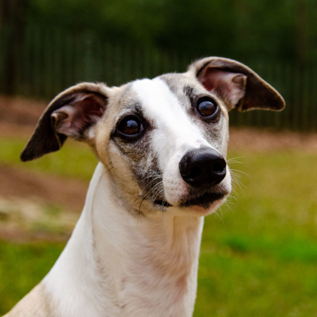 Face of a fawn and white whippet dog