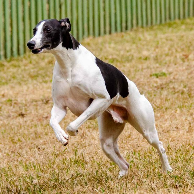 Black and white whippet dog standing on his hind legs