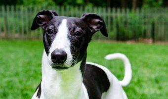Black and white whippet dog