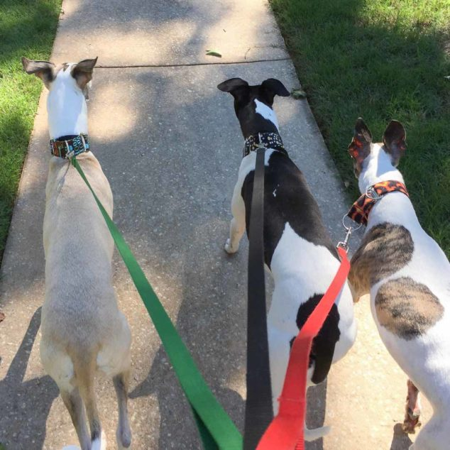 3 whippet dogs walking on a sidewalk