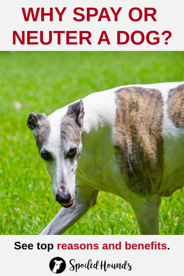 Whippet dog with bright green grass in the background.