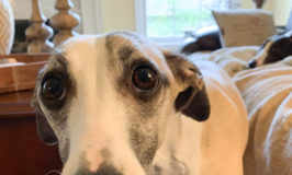 Close up of whippet dog with pitiful look and big eyes
