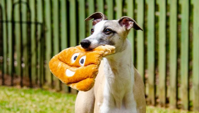 Whippet dog holding a poop emoji toy in its mouth.