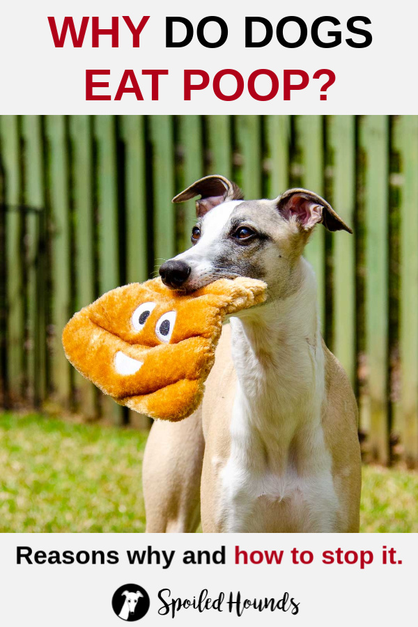 Whippet dog holding a poop emoji toy in its mouth with a green fence in the background.
