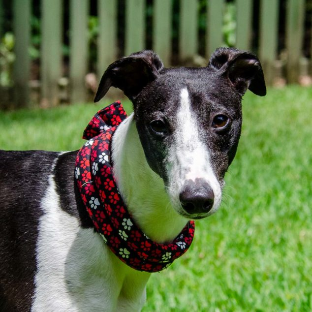 Black and white dog wearing a paw prints herbal calming collar.