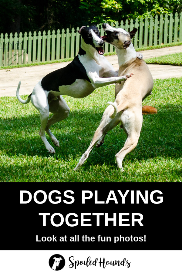 Two whippet dogs playing.