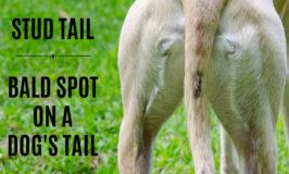 Bald spot on dog tail