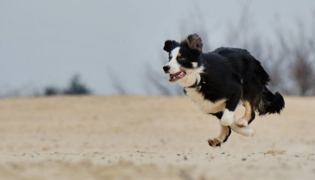 Border Collie dog running on a beach