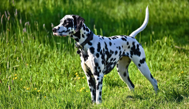 Dalmation dog standing on a field