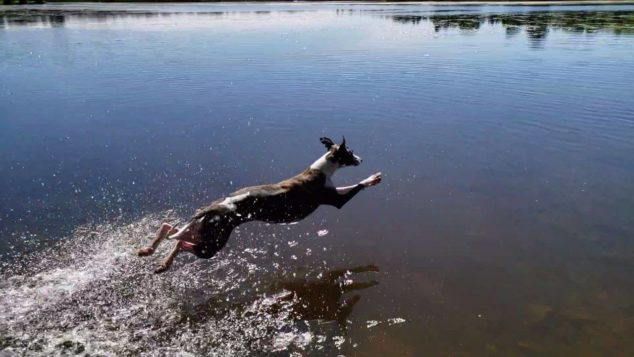 whippet dog jumping into a lake to go swimming