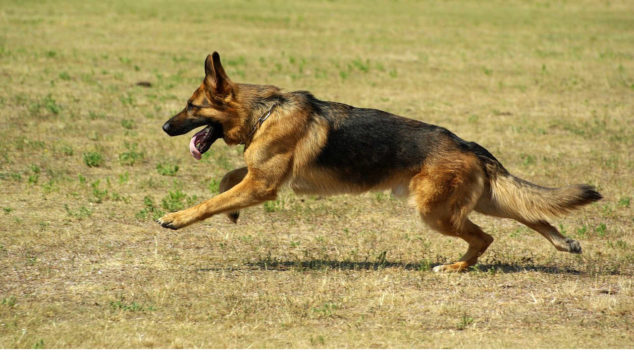 German Shepherd dog running on a field