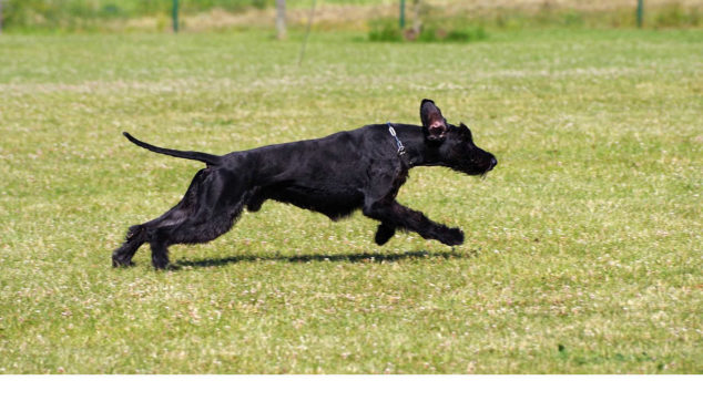 Giant Schnauzer dog running on a field