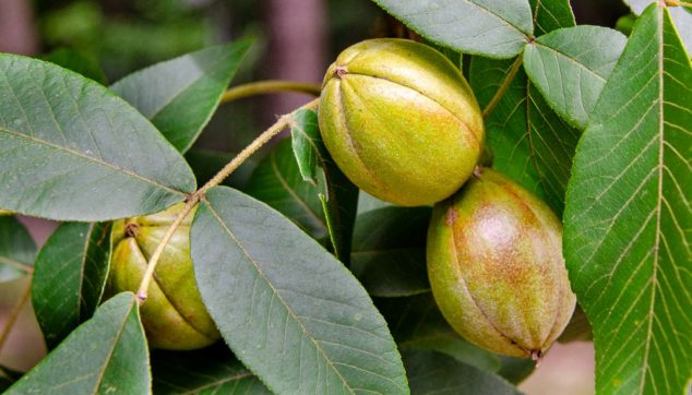 Hickory nuts on a hickory tree