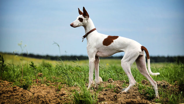 Ibizan Hound dog standing on a field